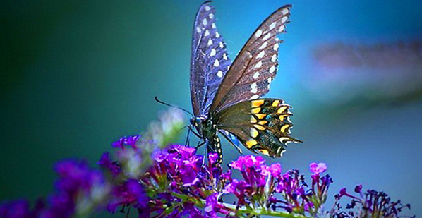 butterfly-wallpaper-yorkshire_rose-29930938-1024-768